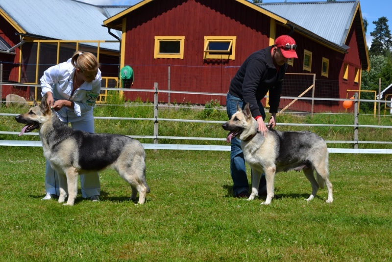 "SCANDINFVIAN SUMMER ""DOG SHOW СACIB CAC""  ""MOHOPORODNAY VEO""Чемпион Швеции Dsc_5512"