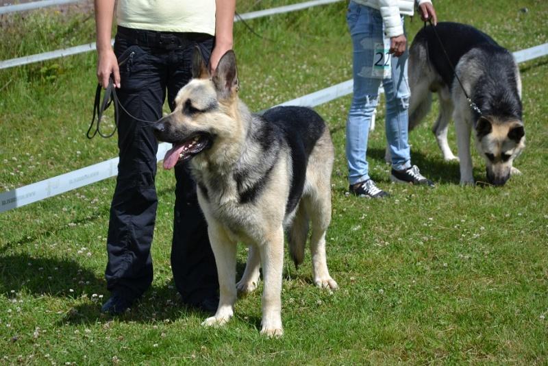 "SCANDINFVIAN SUMMER ""DOG SHOW СACIB CAC""  ""MOHOPORODNAY VEO""Чемпион Швеции Dsc_5516"