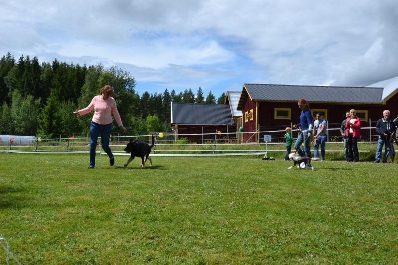 "SCANDINFVIAN SUMMER ""DOG SHOW СACIB CAC""  ""MOHOPORODNAY VEO""Чемпион Швеции Dsc_5619"