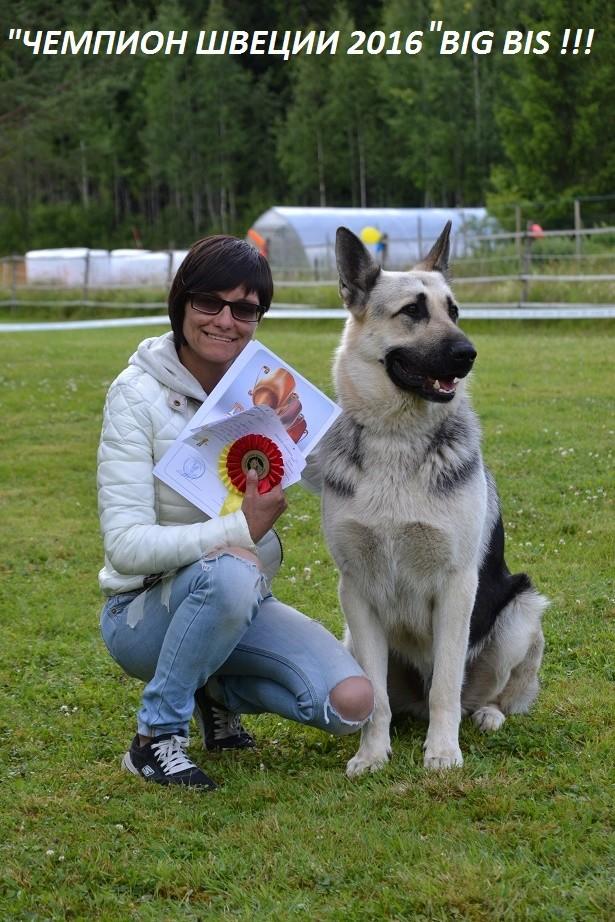 "SCANDINFVIAN SUMMER ""DOG SHOW СACIB CAC""  ""MOHOPORODNAY VEO""Чемпион Швеции Dsc_5719"