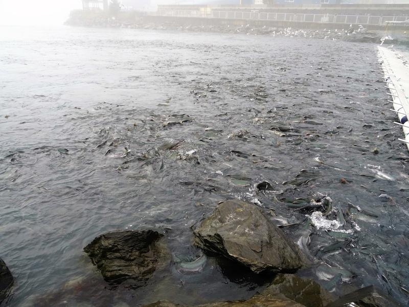 Alaska: Valdez ours et saumons Dsc06720