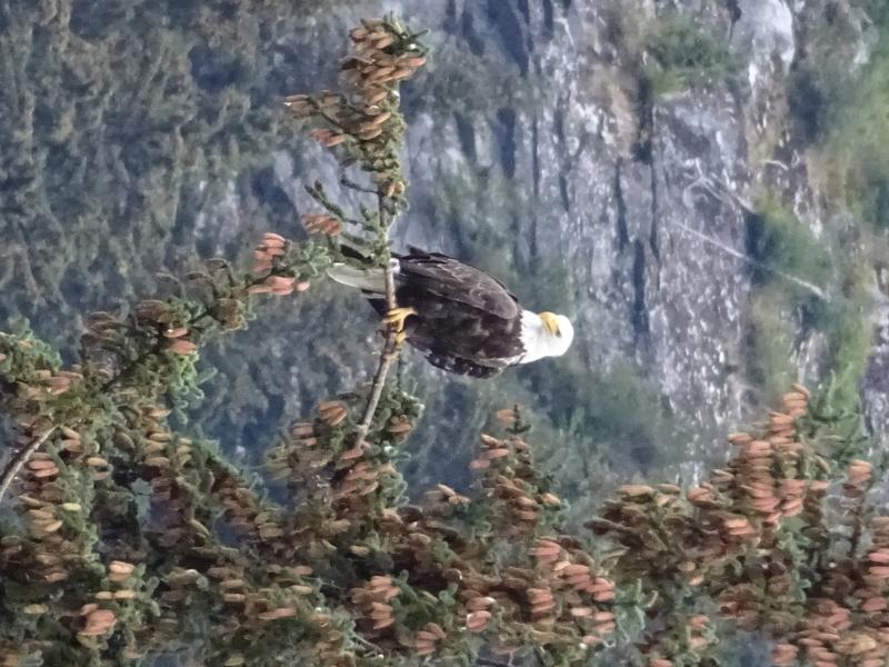 Alaska: Haines grizzly à la pêche Dsc07120