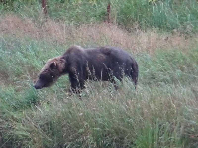 Alaska: Haines grizzly à la pêche Dsc07121