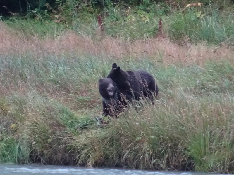 Alaska: Haines grizzly à la pêche Dsc07122