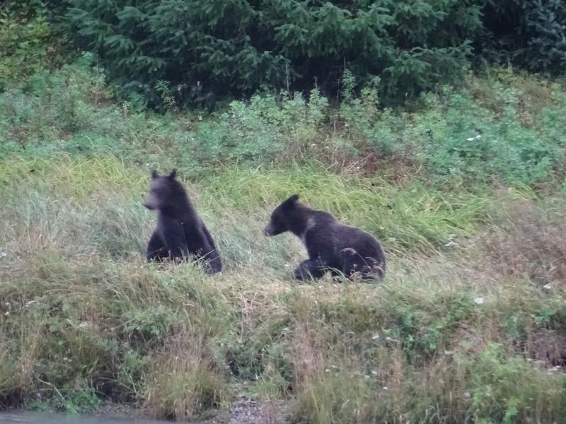 Alaska: Haines grizzly à la pêche Dsc07123