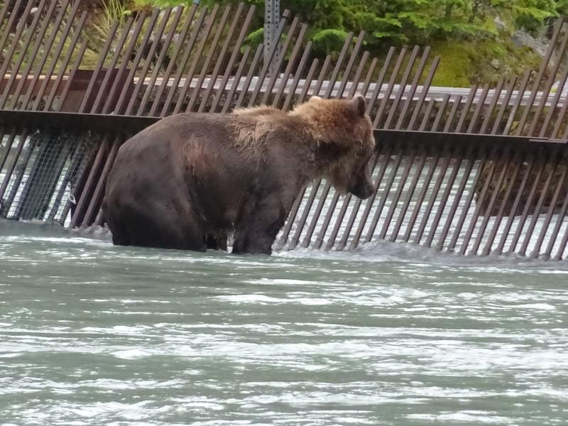 Alaska: Haines grizzly à la pêche Dsc07223