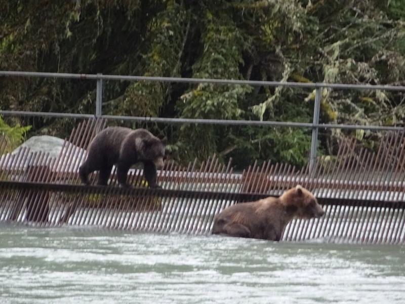 Alaska: Haines grizzly à la pêche Dsc07224