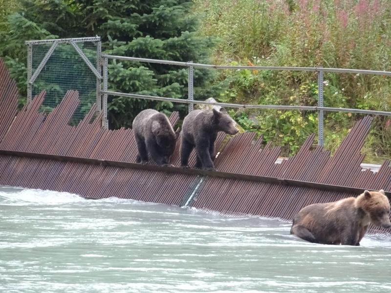 Alaska: Haines grizzly à la pêche Dsc07225
