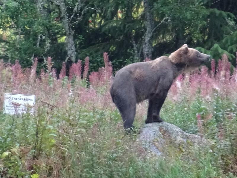 Alaska: Haines grizzly à la pêche Dsc07226