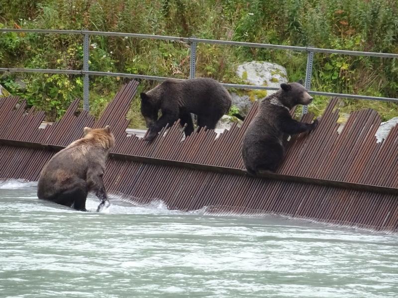 Alaska: Haines grizzly à la pêche Dsc07227