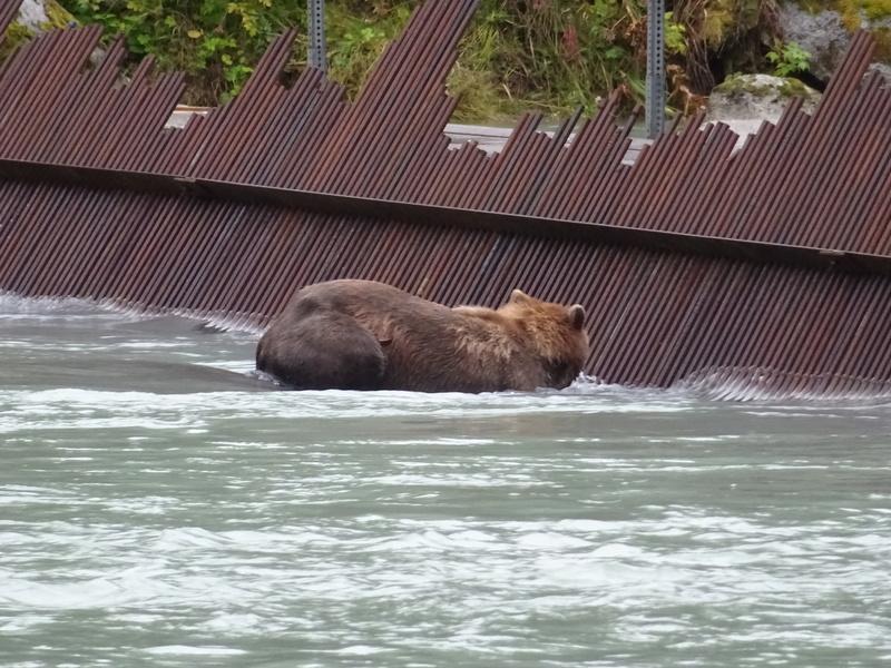 Alaska: Haines grizzly à la pêche Dsc07228