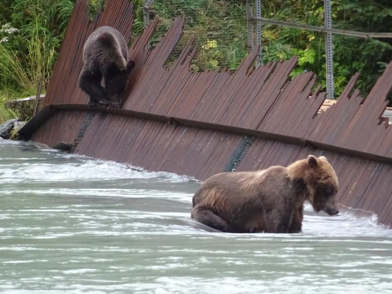 Alaska: Haines grizzly à la pêche Dsc07229