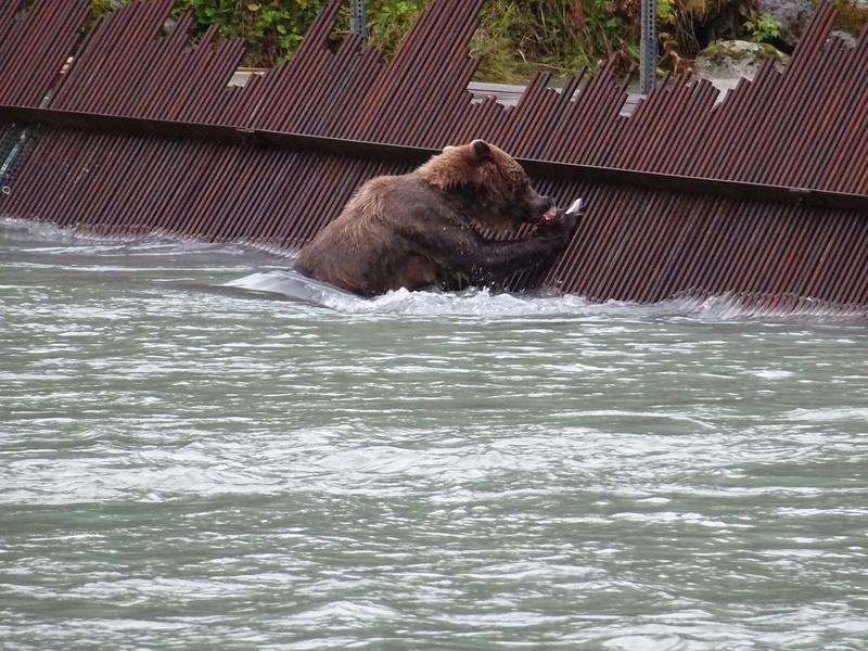 Alaska: Haines grizzly à la pêche Dsc07230