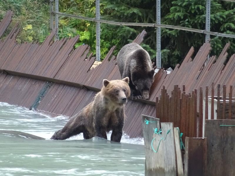 Alaska: Haines grizzly à la pêche Dsc07315