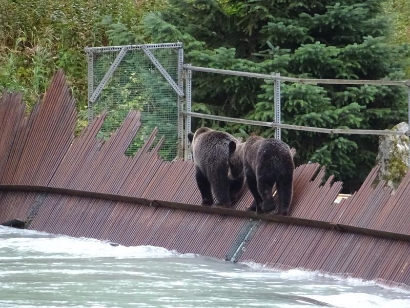 Alaska: Haines grizzly à la pêche Dsc07316