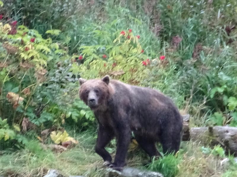 Alaska: Haines grizzly à la pêche Dsc07317
