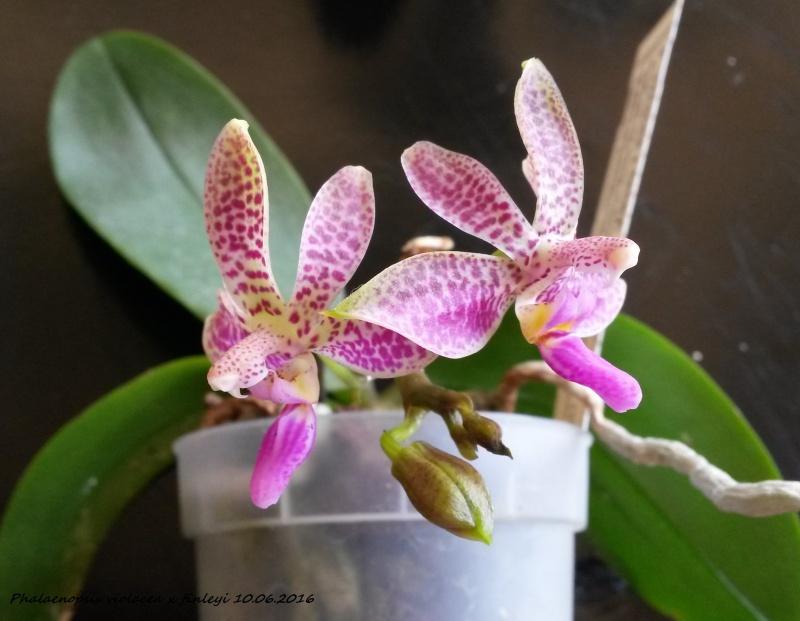Phalaenopsis violacea x finleyi 20160612