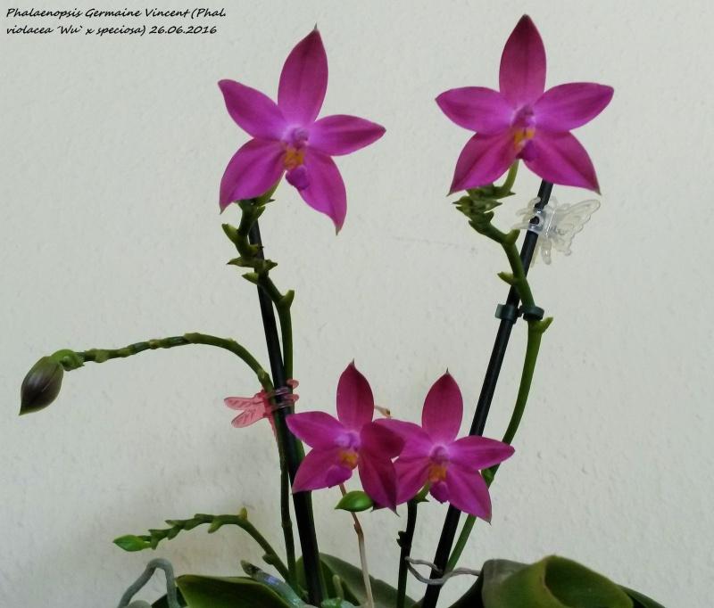 Phalaenopsis tetraspis x violacea (Jennifer Palermo) oder Phal. speciosa x violacea (Germaine Vincent) - Seite 2 20160616
