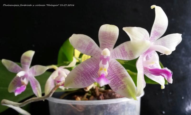 Phalaenopsis fimbriata x violacea 'Malaysia' 20160718