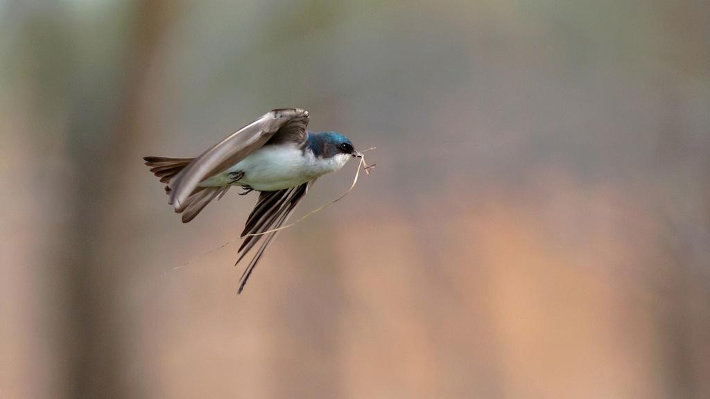 Vol d'hirondelle bicolore Hirond10