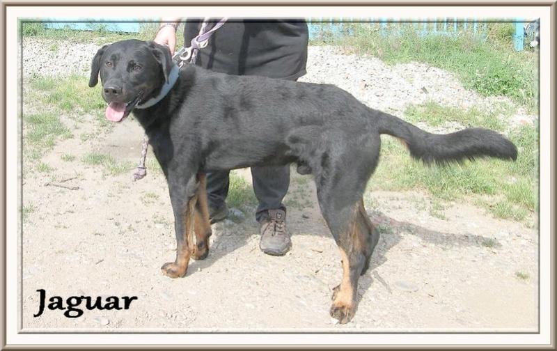 Jaguar beauceron LOF Lignée chien de travail, né en 2014 9a8gj810