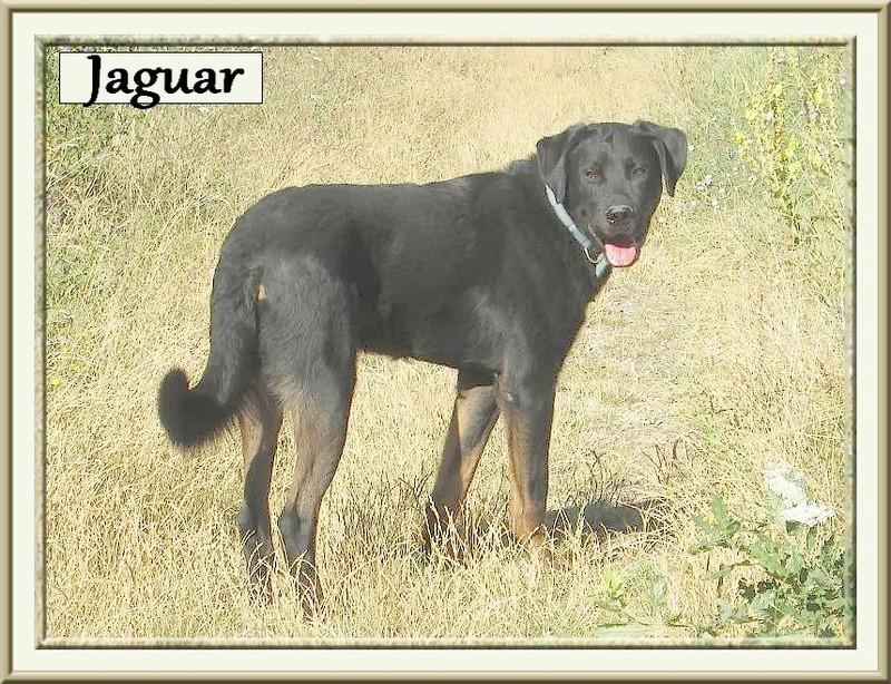 Jaguar beauceron LOF Lignée chien de travail, né en 2014 Uuwk9710