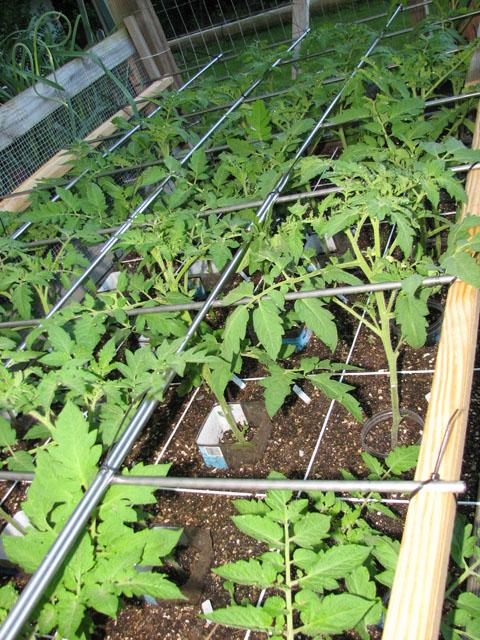 tomato canopy 1010