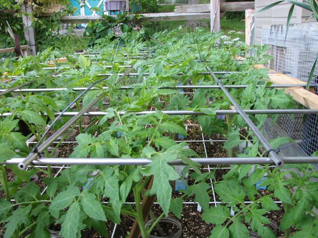 tomato canopy 1210