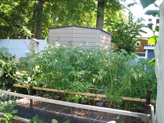 tomato canopy July1417
