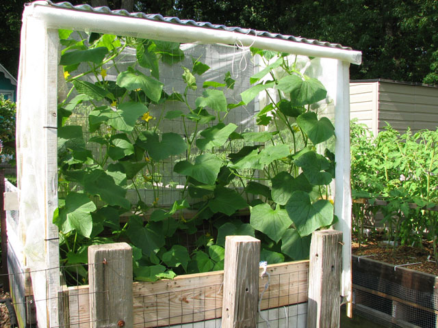 Saving cantaloupe from cucumber beetle? July1_12