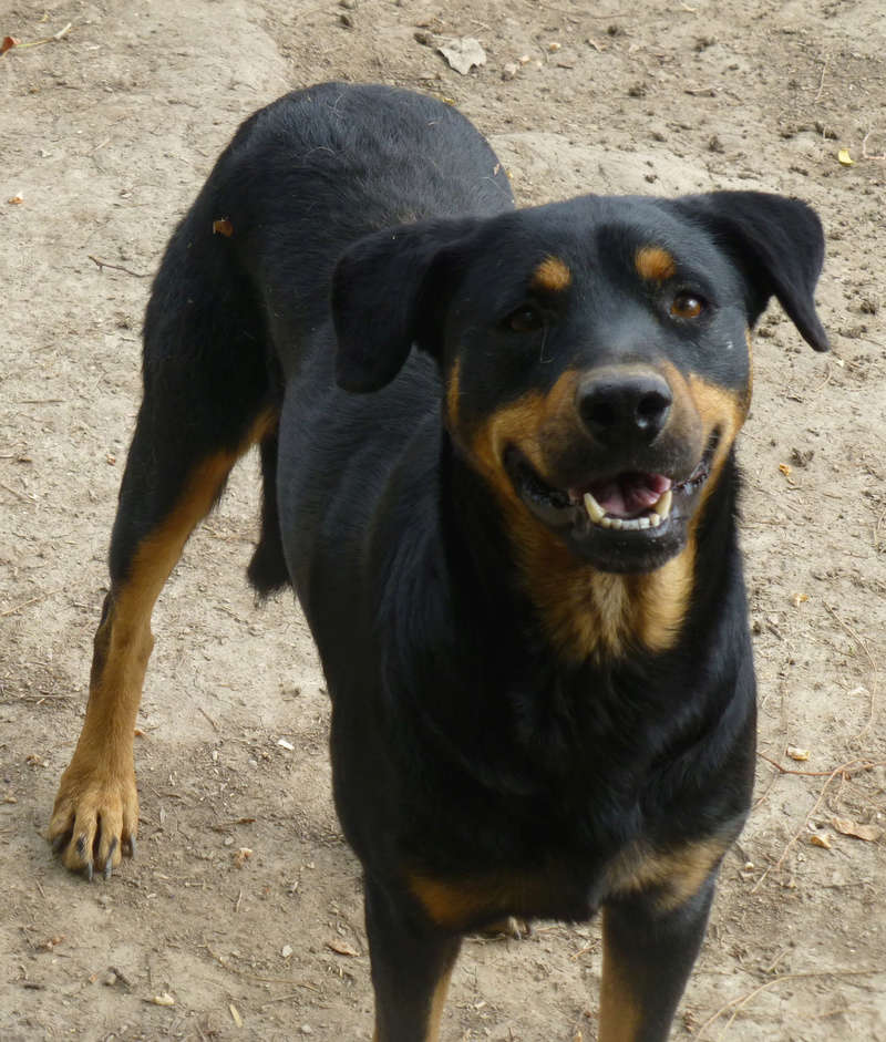 chien 39 - TAMS, M-X, taille moyenne, env. 23 kg, né 2012 (Fourrière BACKA) Pris en charge Animals Rescue - Page 3 210