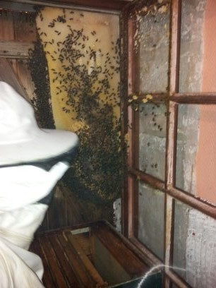 Récupération d'un essaim entre volets et fenêtre  13724317