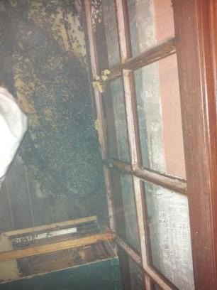 Récupération d'un essaim entre volets et fenêtre  13724318