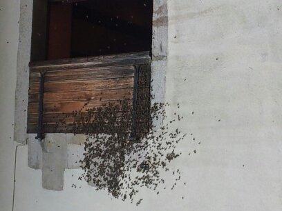 Récupération d'un essaim entre volets et fenêtre  13724322