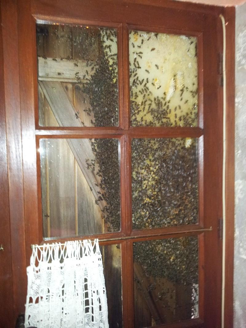 Récupération d'un essaim entre volets et fenêtre  20130613