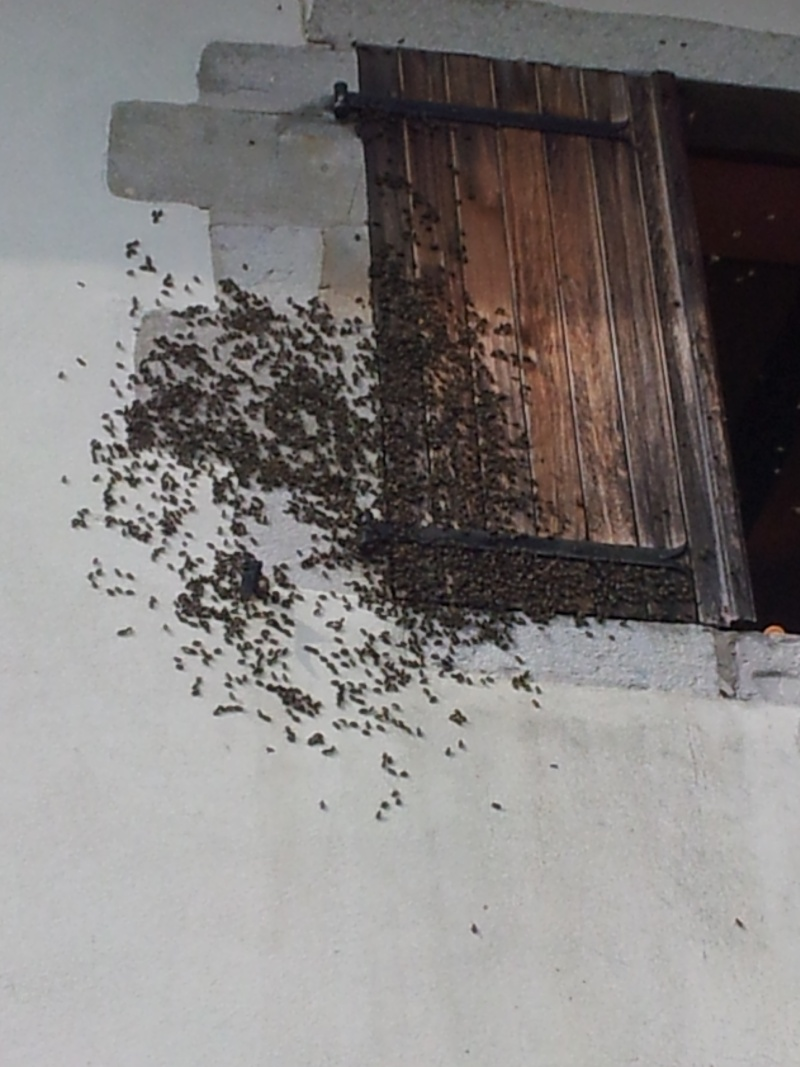 Récupération d'un essaim entre volets et fenêtre  20130621