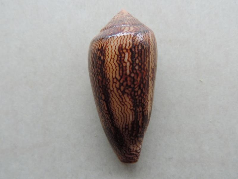 Conus (Cylinder) textile cholmondeleyi  Melvill, 1900 voir Conus (Cylinder) textile Linnaeus, 1758 Dscn8016