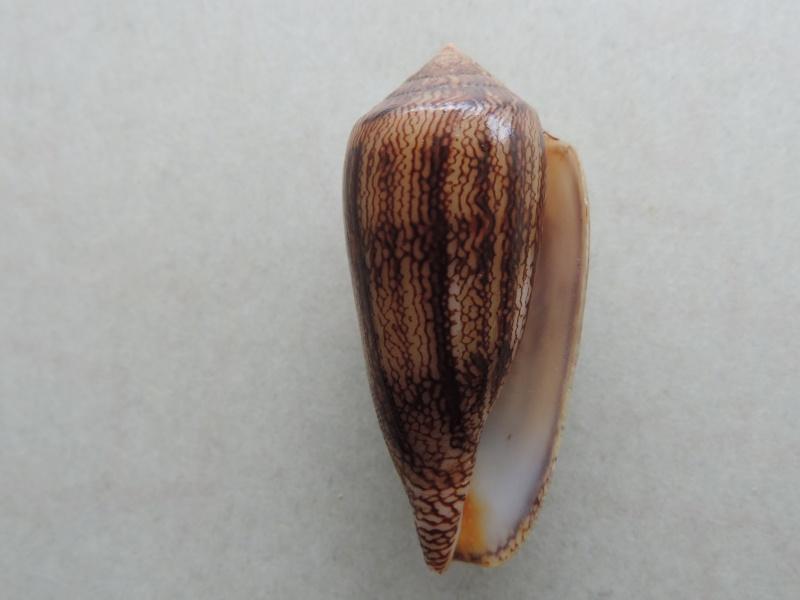 Conus (Cylinder) textile cholmondeleyi  Melvill, 1900 voir Conus (Cylinder) textile Linnaeus, 1758 Dscn8017