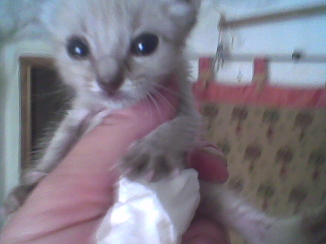 Little Kitten found-now with pictures Image010