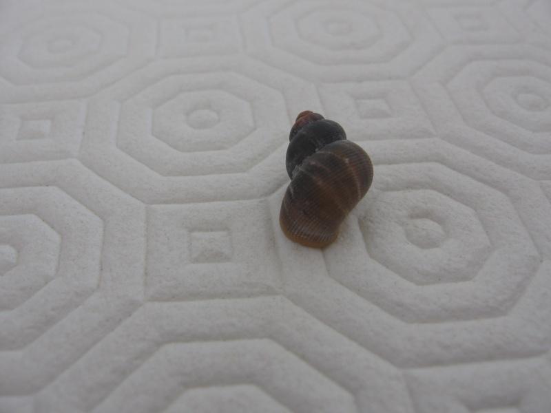 Tudorella sulcata (Draparnaud,1801) Img_0018