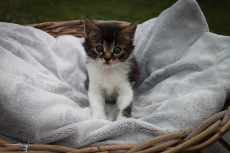 Maestro, chatounet tabby et blanc angora, né le 15/06/2016 13682410