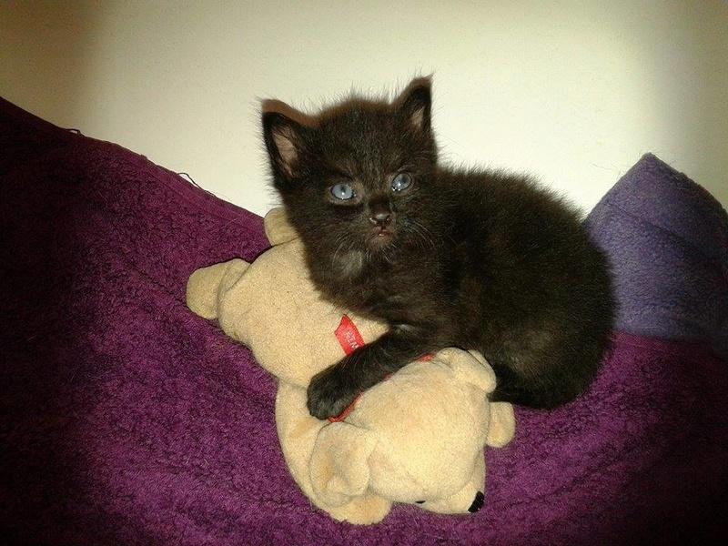 Muffin, magnifique chaton noir, né le 09/07/2016 13900610