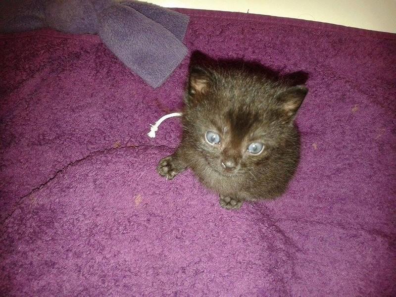 Muffin, magnifique chaton noir, né le 09/07/2016 13900910