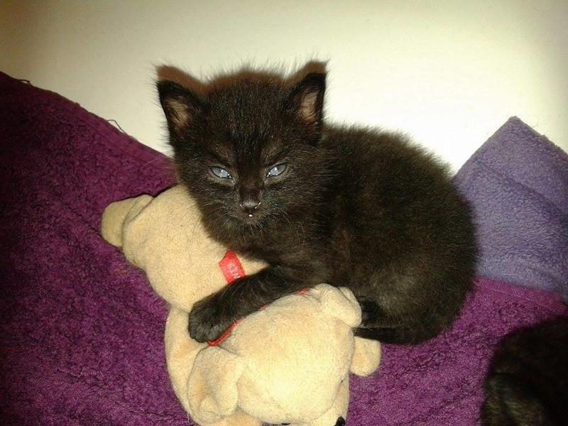 Muffin, magnifique chaton noir, né le 09/07/2016 13933310