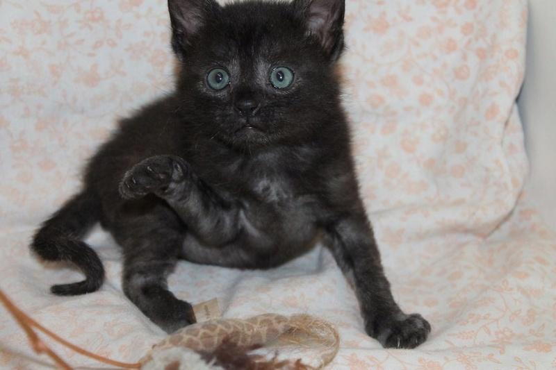 Muffin, magnifique chaton noir, né le 09/07/2016 14074310