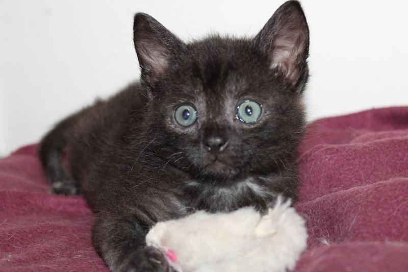 Muffin, magnifique chaton noir, né le 09/07/2016 14074910