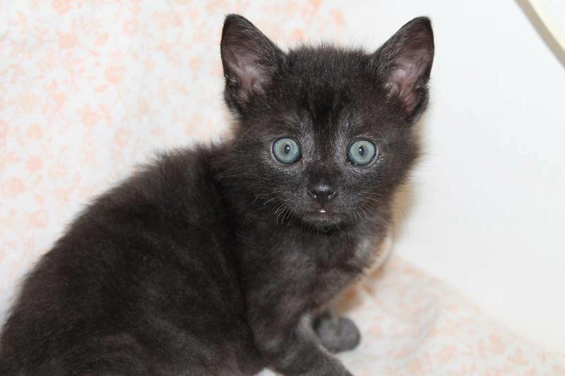 Muffin, magnifique chaton noir, né le 09/07/2016 14087510