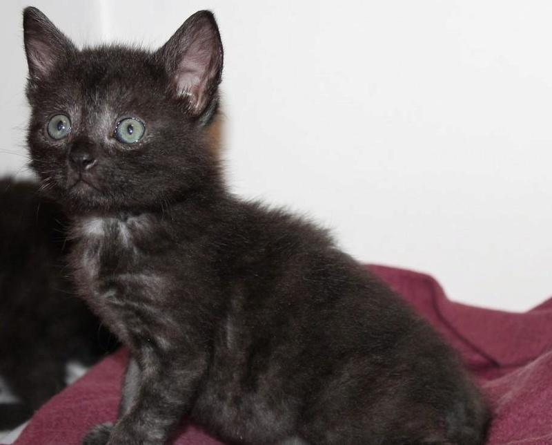 Muffin, magnifique chaton noir, né le 09/07/2016 14088811