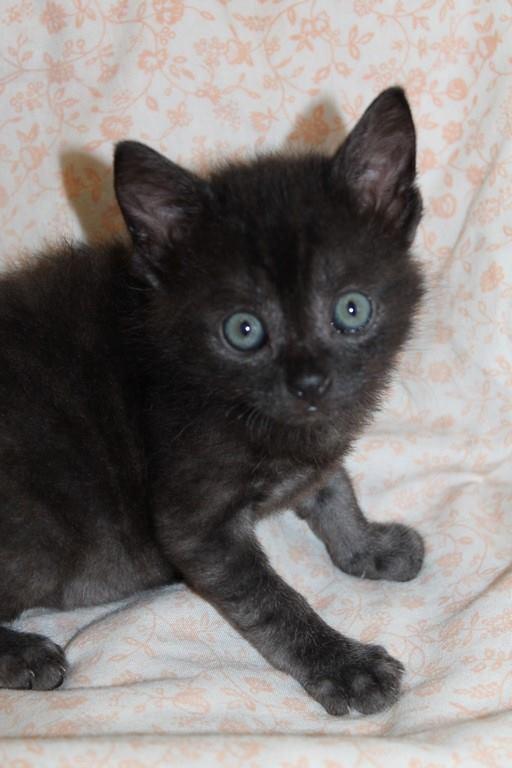 Muffin, magnifique chaton noir, né le 09/07/2016 14089411