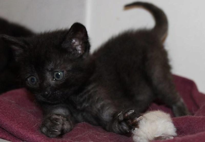Muffin, magnifique chaton noir, né le 09/07/2016 14101610